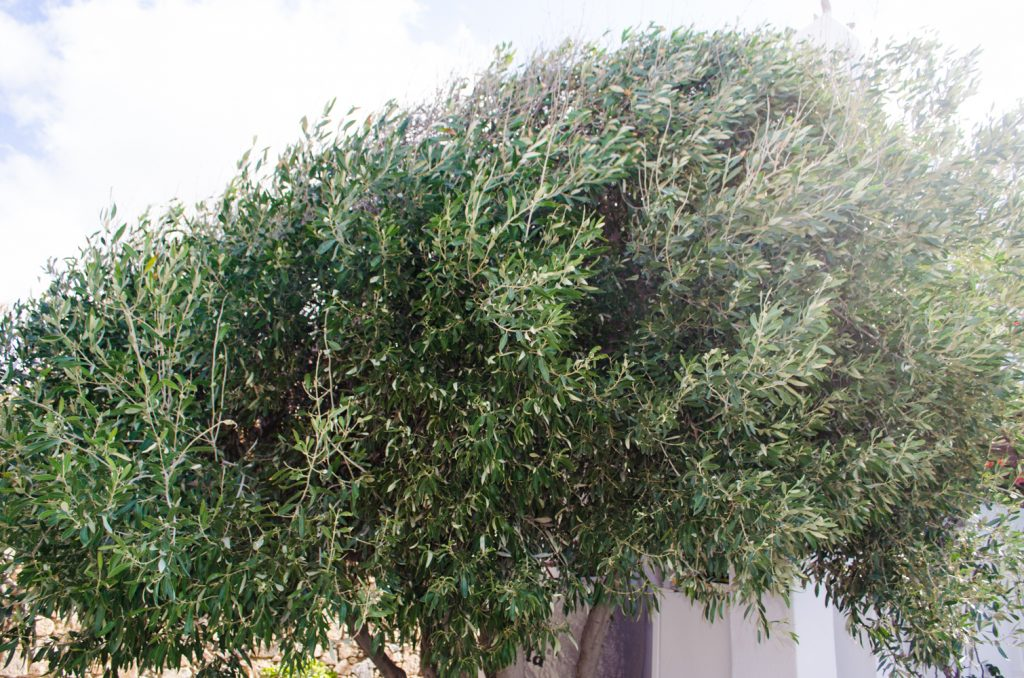 villa-hurmuses-olive-trees-2