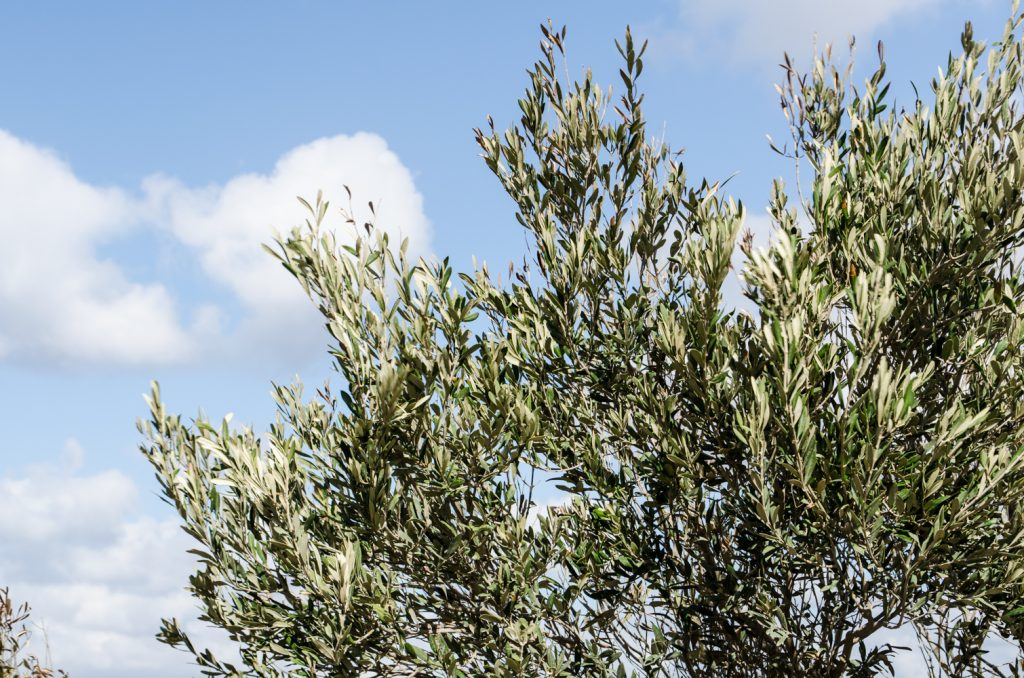 villa-hurmuses-olive-trees-3
