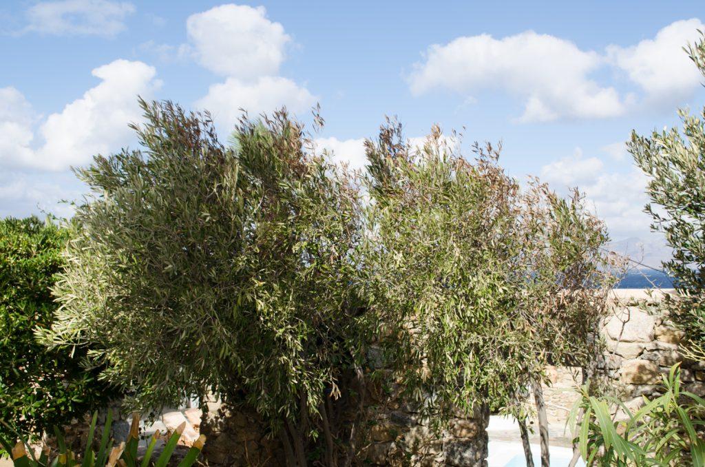 villa-hurmuses-olive-trees-4